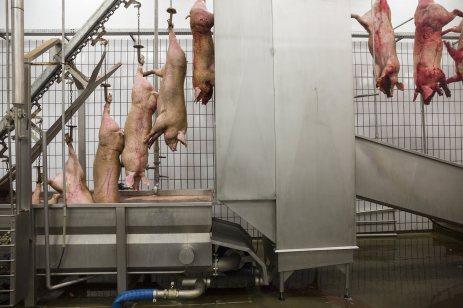 Nutribras cría todos los cerdos que sacrifica en su planta de procesamiento: alrededor de 1.300 al día. Después de sacrificarlos, los animales se sumergen en tanques de agua hirviendo para limpiarles la piel y eliminar el pelo.