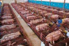 En la granja porcina Nutribras, en Brasil, las cerdas viven confinadas en jaulas compartimentadas, donde los cochinillos pueden mamar sin riesgo de que la madre los aplaste accidentalmente. Este tipo de instalaciones pueden ser muy contaminantes (un cerdo de unos 90 kilos genera una media de 6 kilos de estiércol al día), pero Nutribras recicla los desechos, convirtiéndolos en fertilizantes y en metano para producir energía.