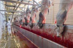 Antes de ser sacrificados, los animales son aturdidos hasta quedar inconscientes, luego se les cuelga de una pata antes degollarlos y desangrarlos. La mayor empresa del sector cárnico en el mundo es JBS, con sede en Brasil.
