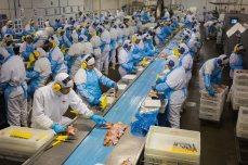 En esta planta de Brasil, cerca de Sidrolândia, todos los meses se sacrifican, despluman, trocean, limpian y envasan unos 4,5 millones de pollos. Las diferentes partes del animal se desperdigarán por el mundo: las alas y las patas van en su mayor parte a China; los muslos, a Japón, y las pechugas, a Europa. La creciente demanda mundial de pollo ha hecho que la produccion de carne de ave aumente a un ritmo mucho mayor que la de cerdo o vacuno.