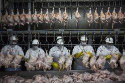En Itapuí, Brasil, la empresa avícola Itabom procesa 18.000 pollos cada hora. Solo en Estados Unidos y China se consume más carne de pollo que en Brasil: unos 45 kilos por persona y año. La producción avícola en Brasil se duplicó entre 2000 y 2012.